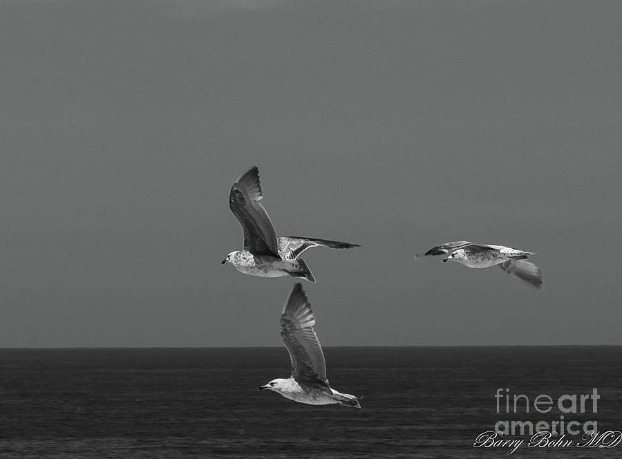 Portugese gulls BW by Barry Bohn