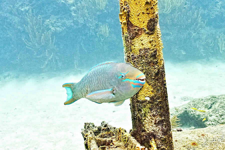Posing Parrot Fish by Paula Porterfield-Izzo