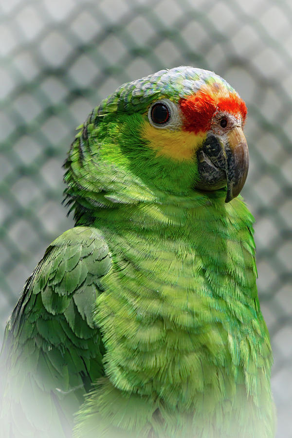 Posing parrot by Silvia Marcoschamer