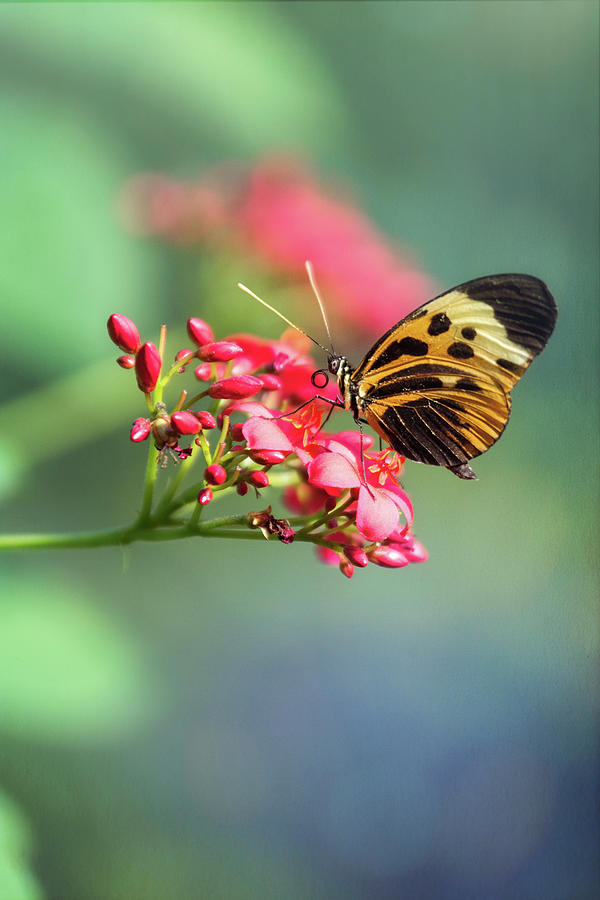 Postman Butterfly On Little Pink Flowers  by Saija Lehtonen