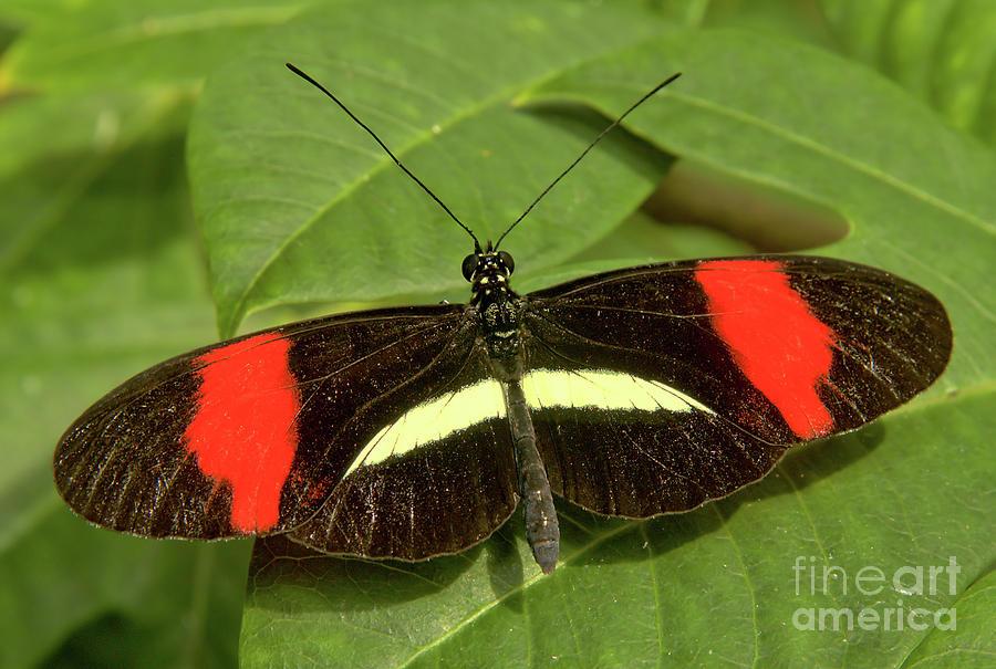 Postman Butterfly by Steve Edwards