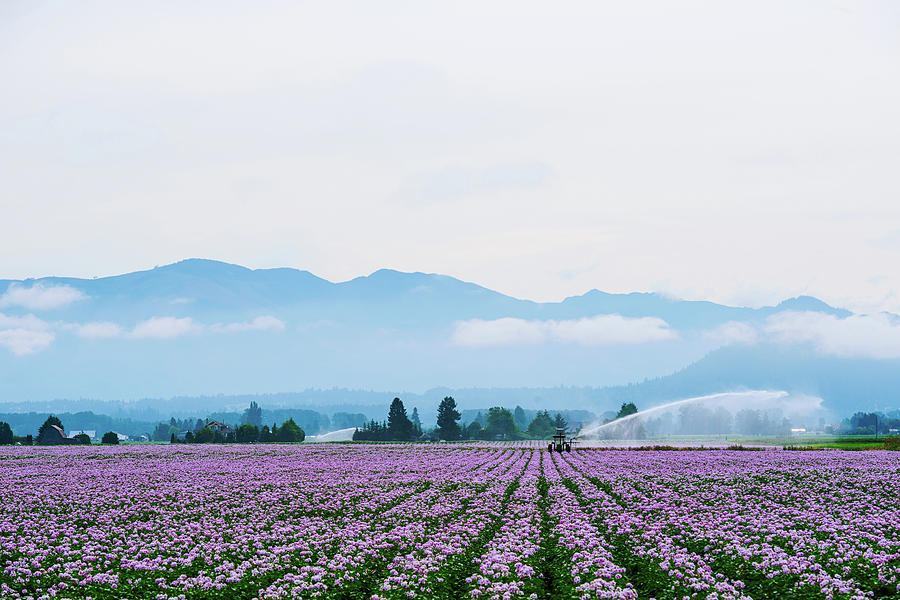 Potato Field at Skagit Valley by Michael Lee