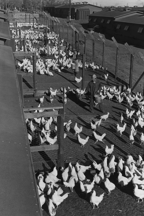 Poultry Farm Photograph by Buyenlarge