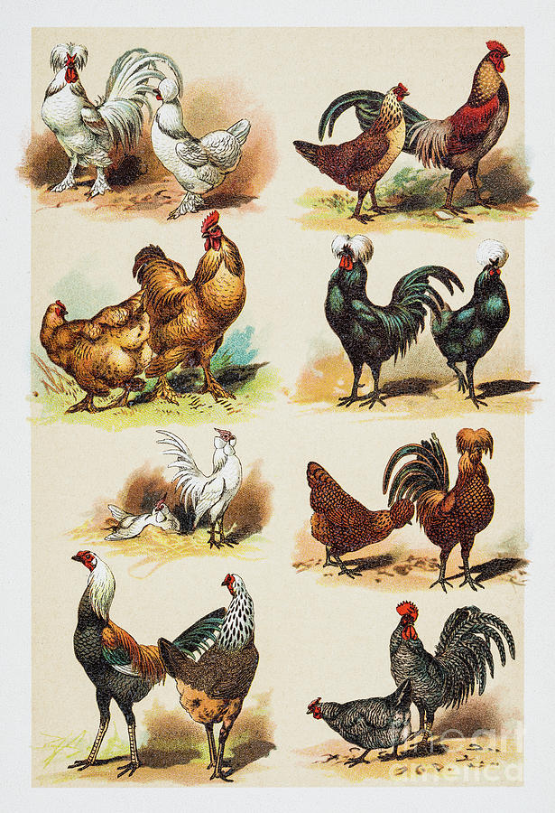 Poultry Hens Rooster Engraving 1882 Digital Art by Thepalmer