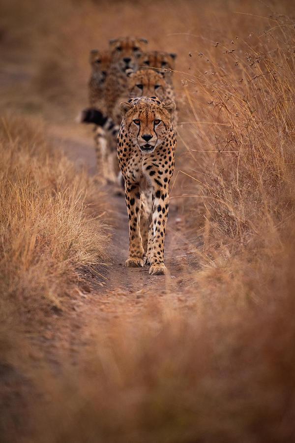 Cheetah Photograph - Power by Mohammed Alnaser