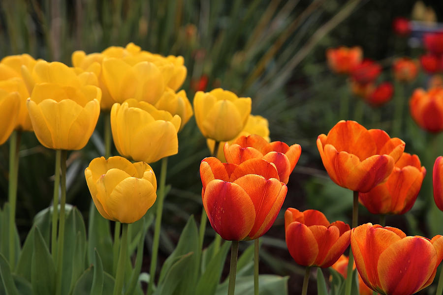 Powerscourt Tulips by Donna Quante