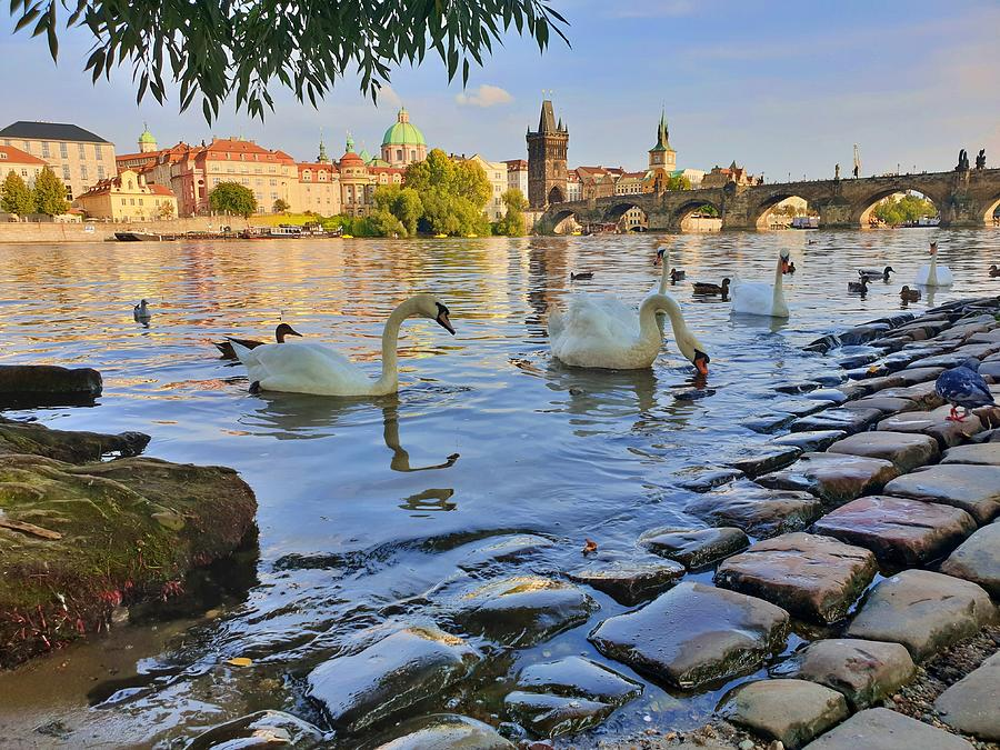 Prague Swans by Andrea Whitaker