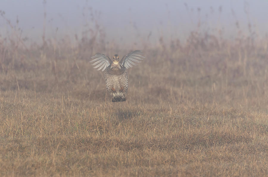 Prairie Chicken 2019-3 by Thomas Young