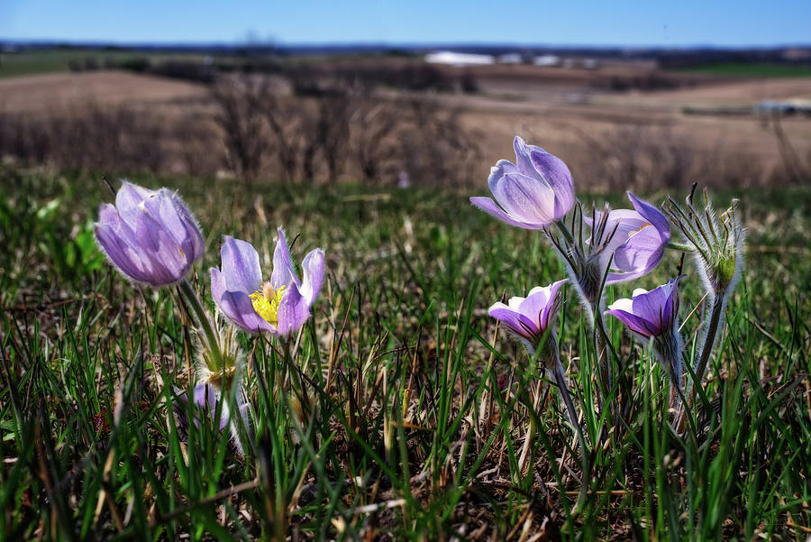 Prairie crocus / Pasque Flowers on bluff with Wisconsin countryside seen in background. by Peter Herman