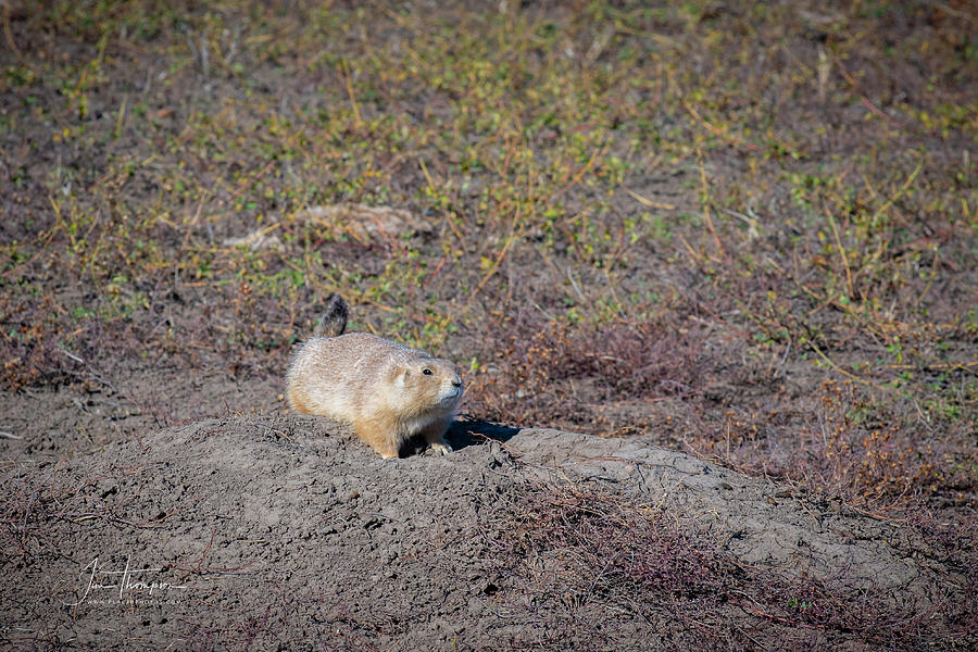 Badlands Photograph - Prairie Dog 1 by Jim Thompson