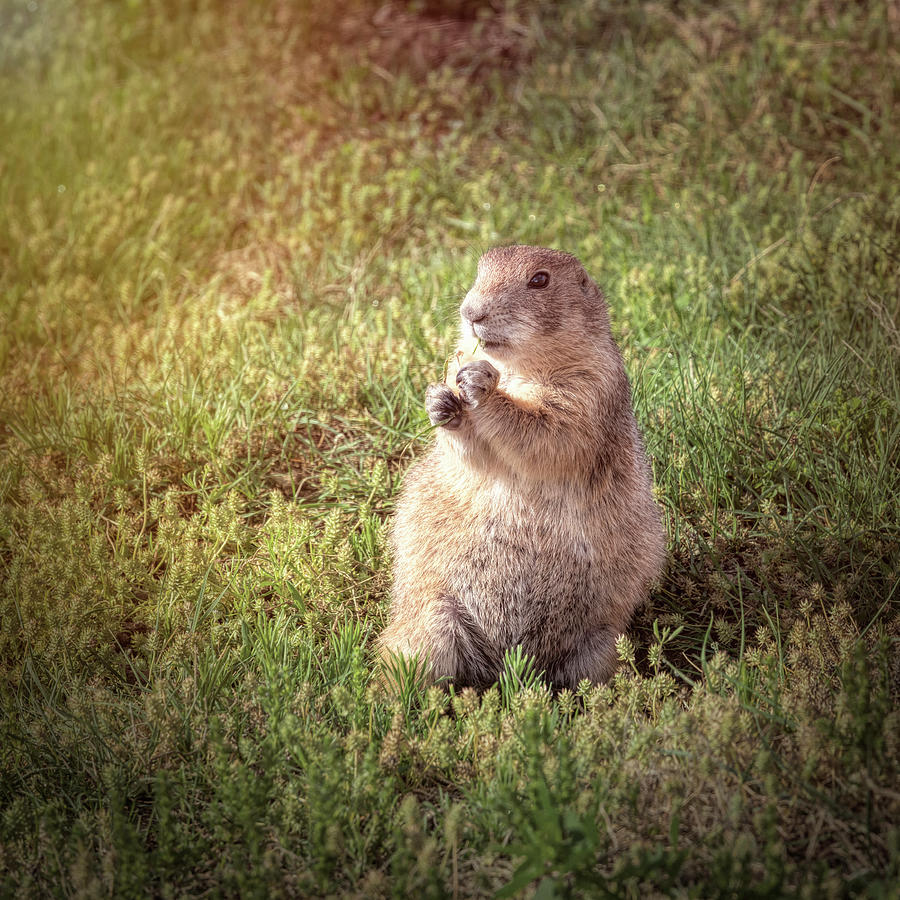 Prairie Dog II by Joan Carroll