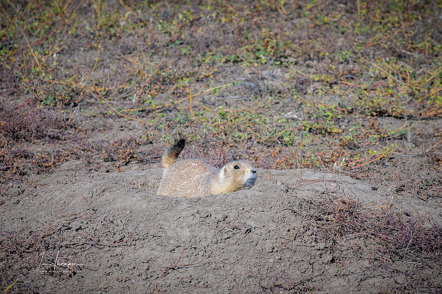 Badlands Photograph - Prairie Dog by Jim Thompson