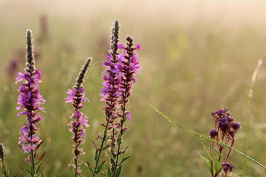 Prairie Flowers by Carolyn Fletcher