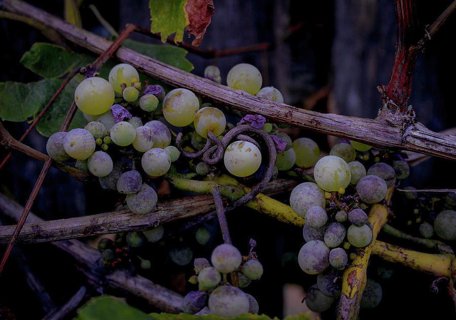 Pre-wine by Traci Asaurus