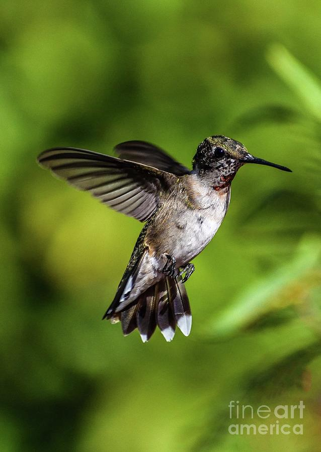 Precision Aerial Maneuvers - Ruby-throated Hummingbird by Cindy Treger