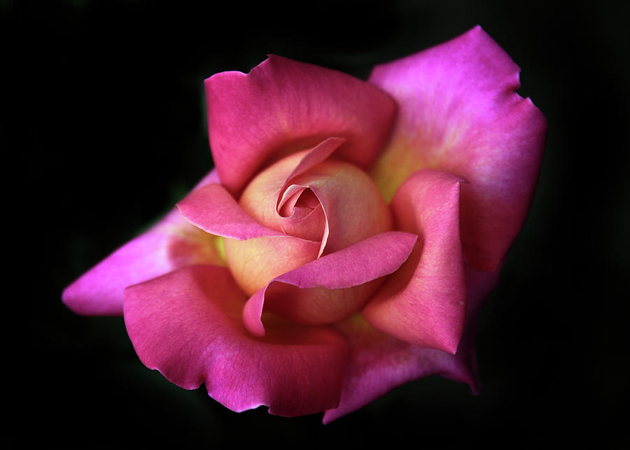 Rose Photograph - Prelude To A Rose by Jessica Jenney