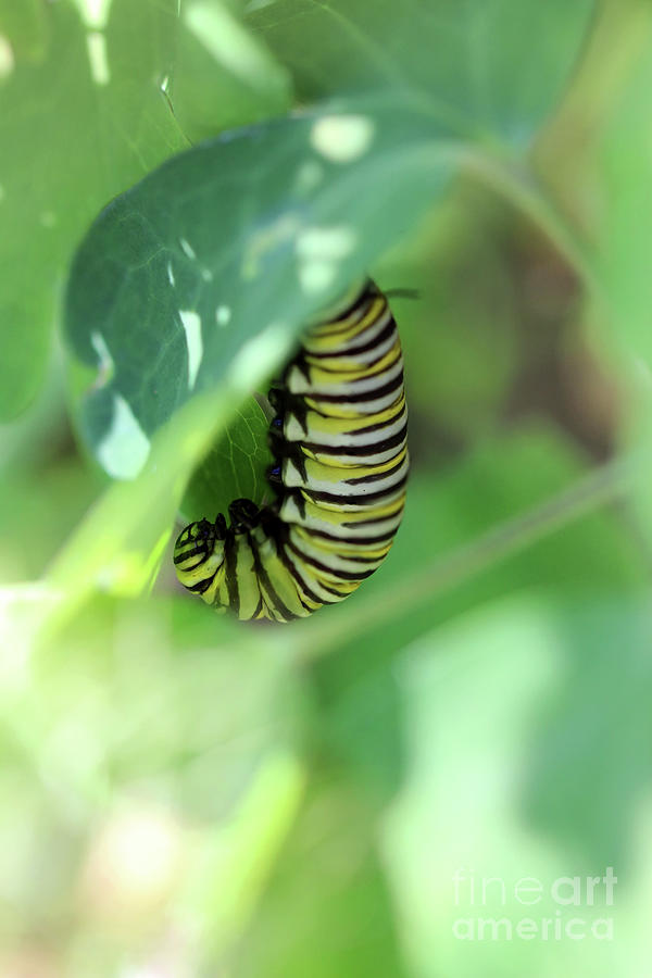Monarch Butterfly Photograph - Preparing For Change by Karen Adams