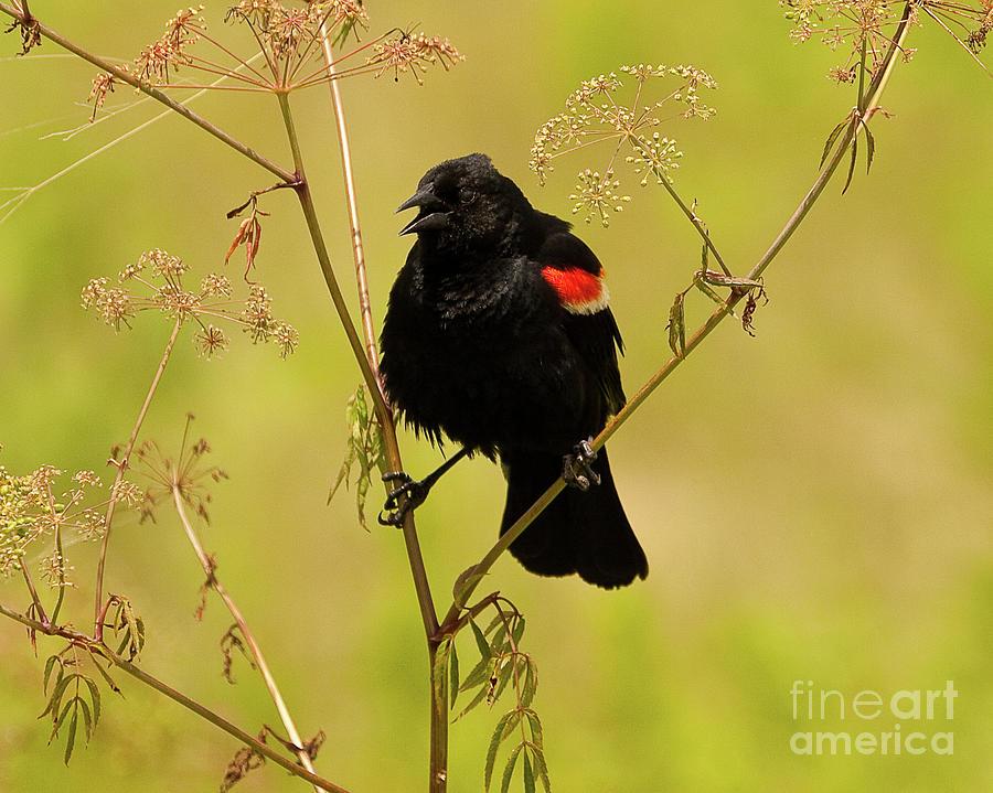 Red-winged Blackbird Photograph - Presson Oglesby Prairie Arkansas Red Winged Black Bird by Michael Vance Pemberton