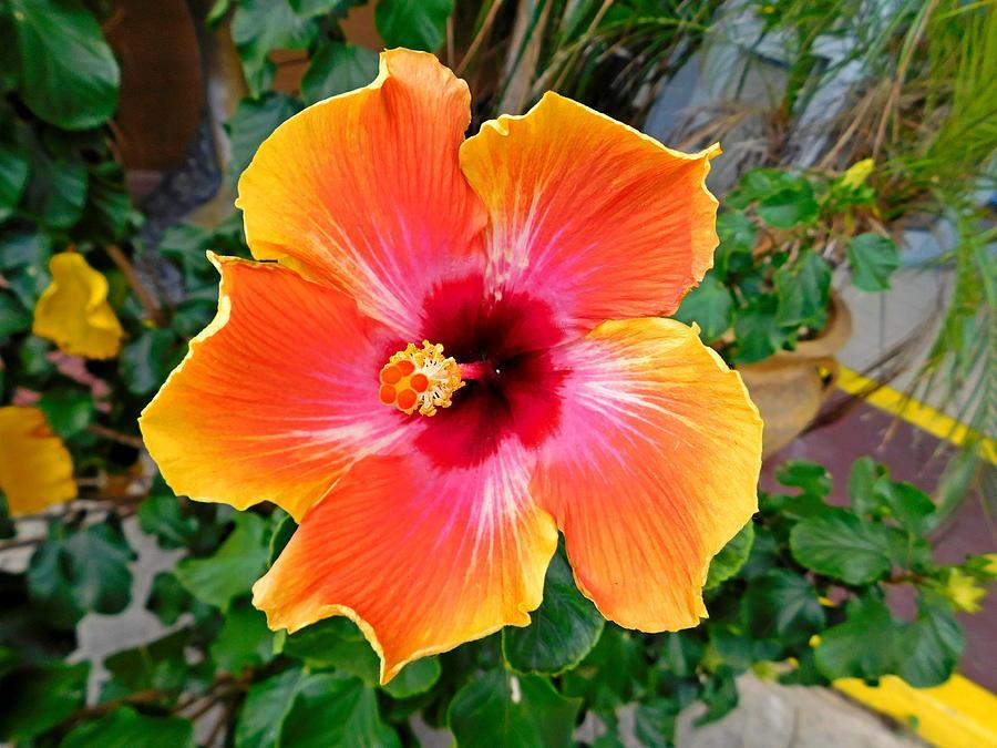 Pretty Hibiscus Flower Panama City Beach Florida Photograph By