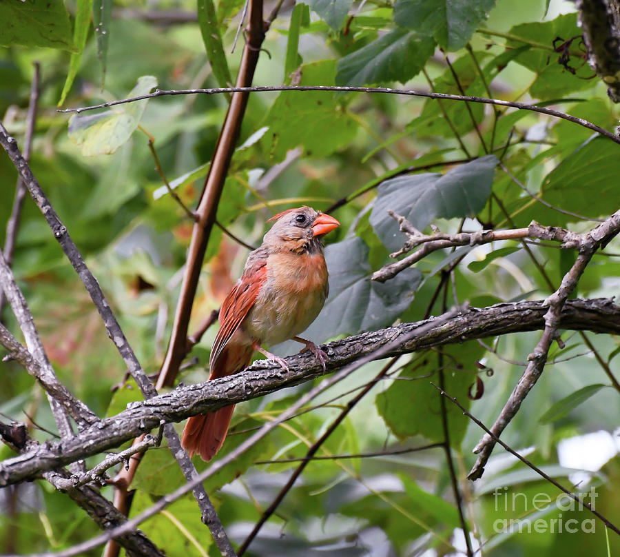 Pretty Lady Posing - Female Northern Cardinal by Kerri Farley