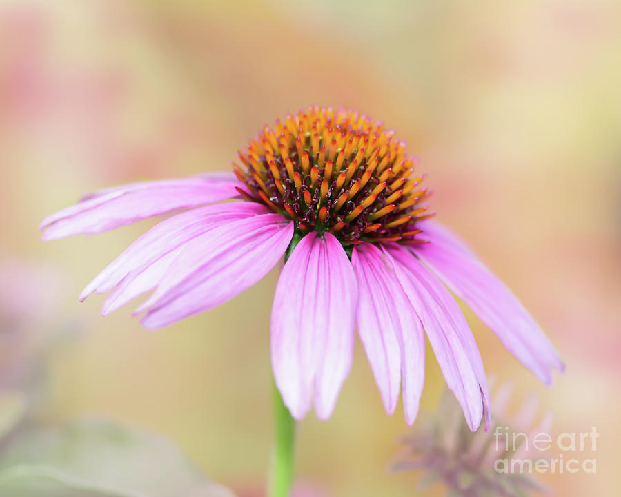 Pretty Pink Echinacea by Sabrina L Ryan