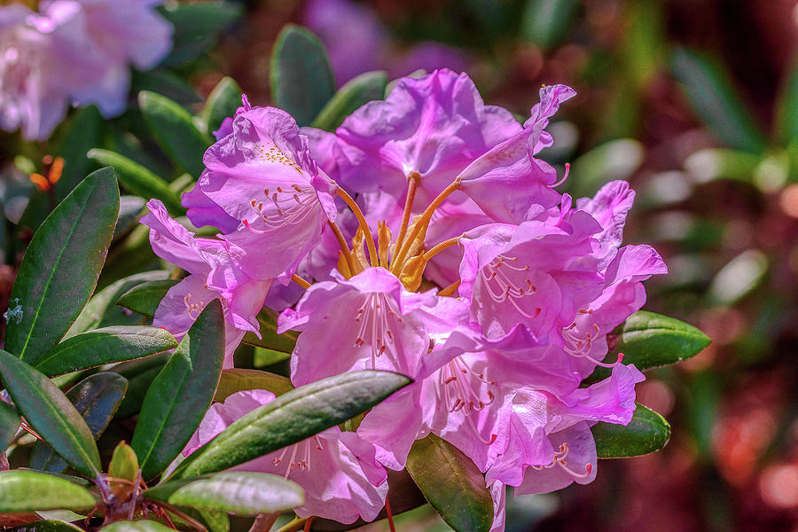 Pink Rhododendron Photograph - Pretty Pink Rhododendron by Donald Lanham