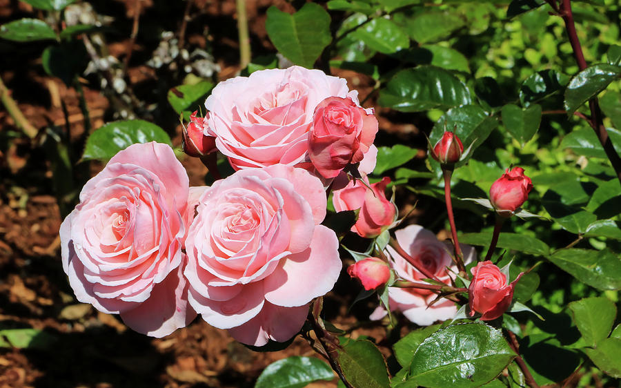 Pretty Pink Roses by Dawn Richards