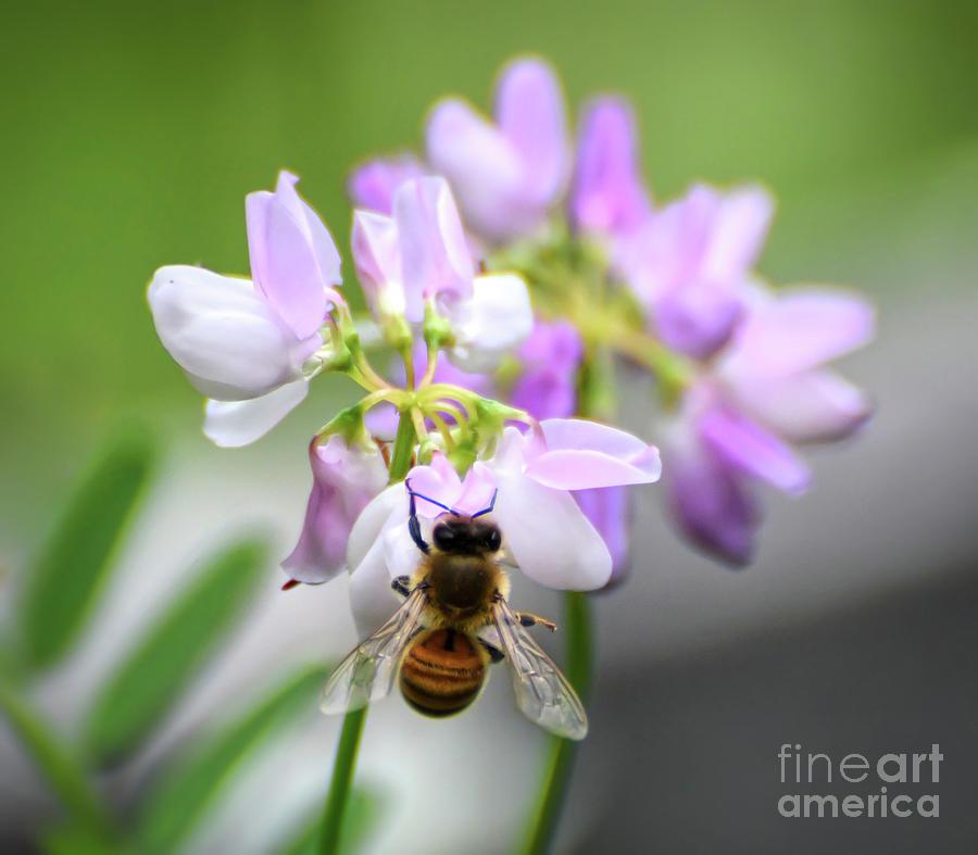 Pretty Pollinator - Bee in the Crown Vetch by Kerri Farley