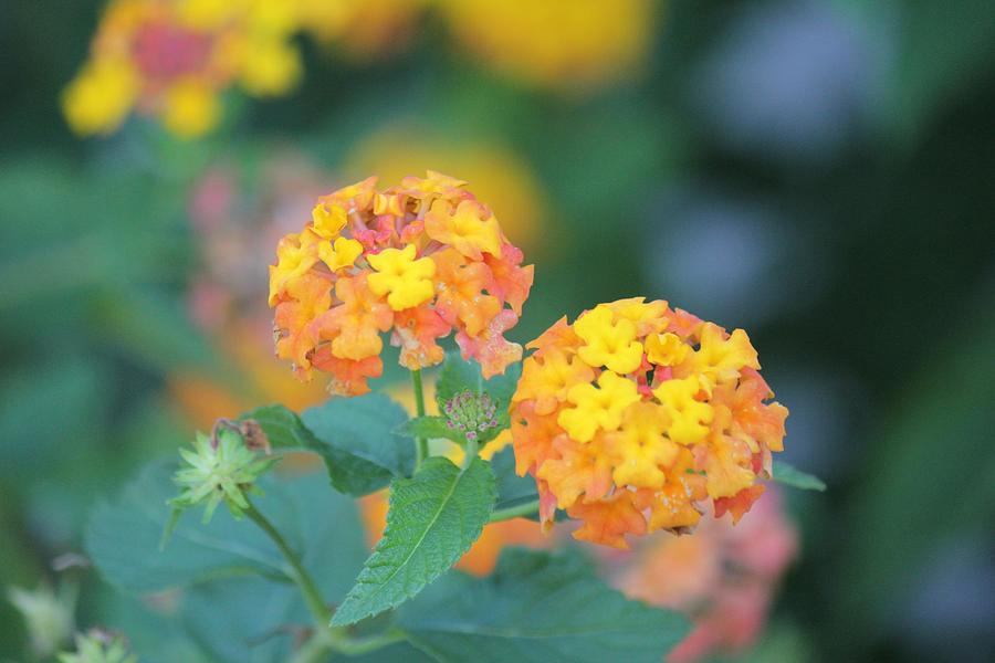 Pretty Sweet Floral Orange and Yellow Blossoms by Joy of Life Arts