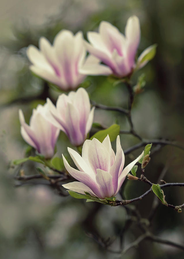 Pretty white and pink magnolia by Jaroslaw Blaminsky