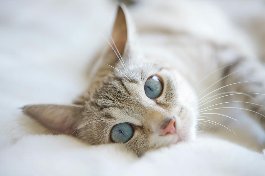 Pretty White Cat With Blue Eyes Laying Photograph by Marcy Maloy