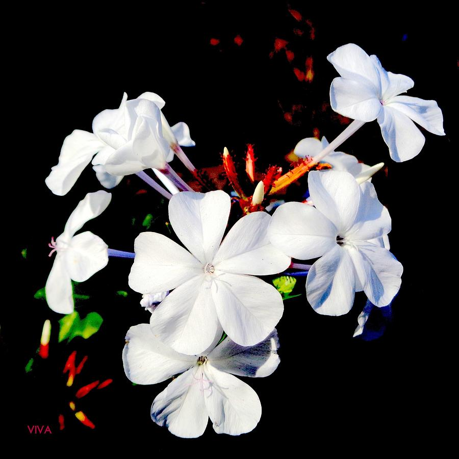 Pretty White Plumbago by VIVA Anderson