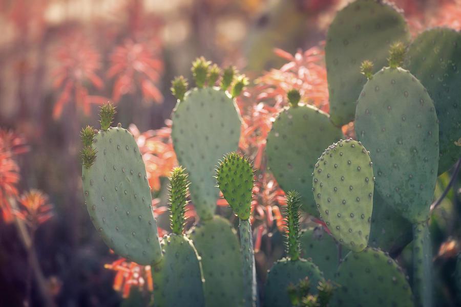 Prickly Pear And Aloe Flowers  by Saija Lehtonen