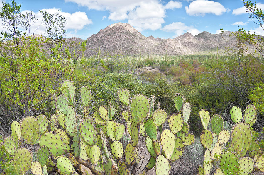 Tucson Photograph - Prickly Pear at Tuscon Mountain by Cinnamon Sky Photography