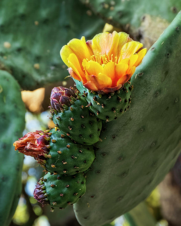 Prickly Pear Blooming V1953 Photograph