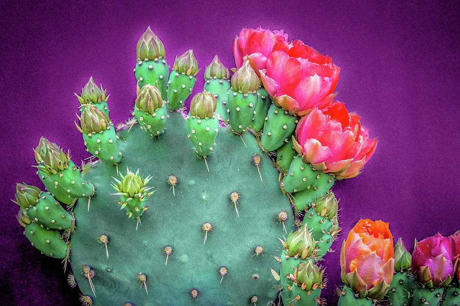 Prickly Pear Buds and Blooms 2 by Veronika Countryman