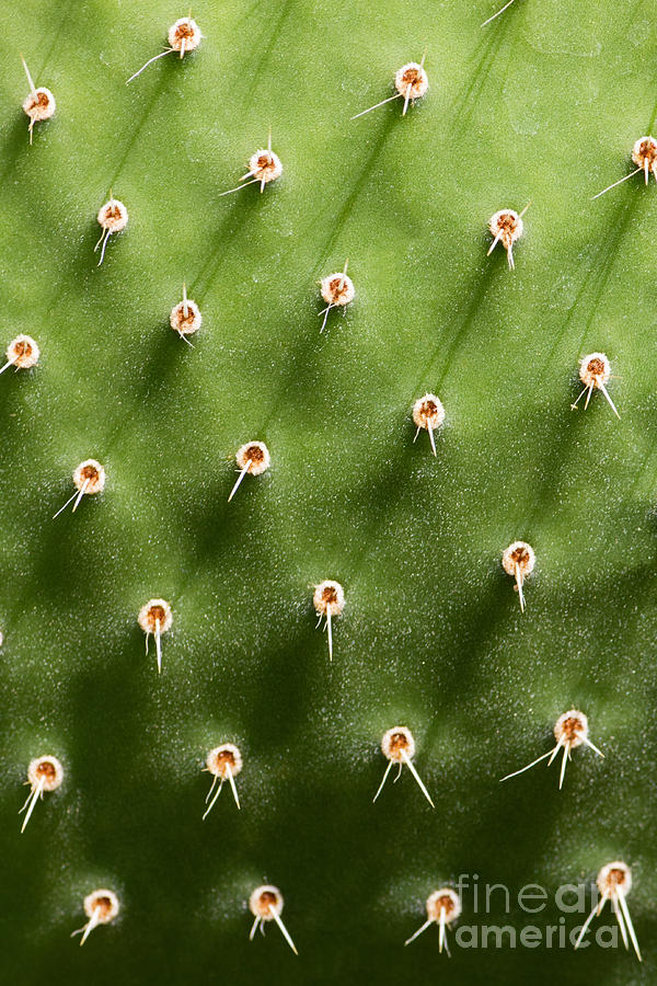 Opuntia Photograph - Prickly Pear Cactus Close Up by Sumikophoto