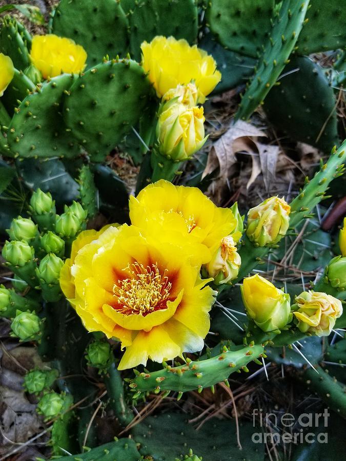 Prickly Pear Cactus In Full Bloom by Rachel Hannah