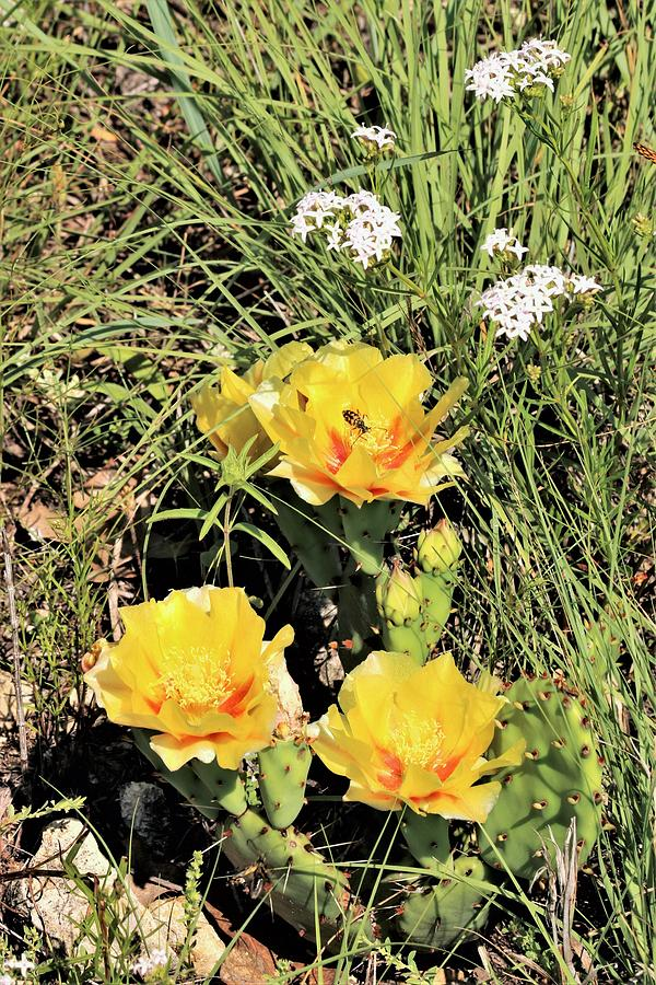 Prickly Pear Cactus in Spring by Sheila Brown