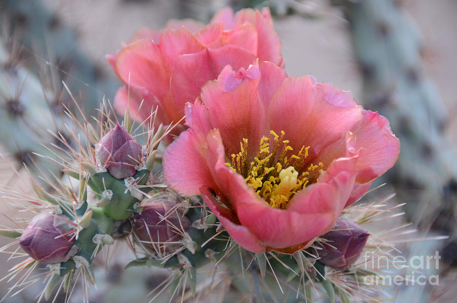 Opuntia Photograph - Prickly Pear Cactus With Pink Flowers by Jerry Horbert
