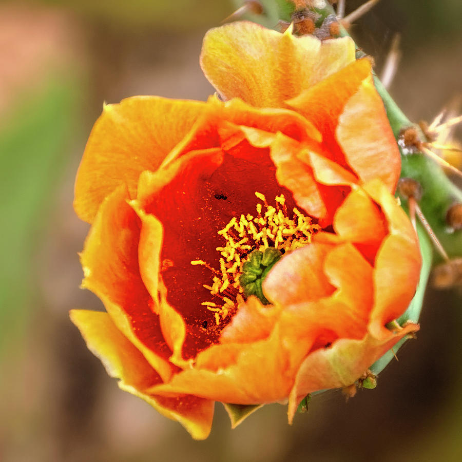 Prickly Pear Flower 1745 Photograph