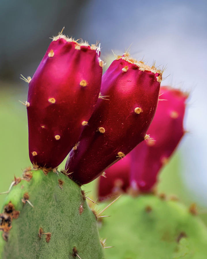 Prickly Pear Fruit V1939 Photograph