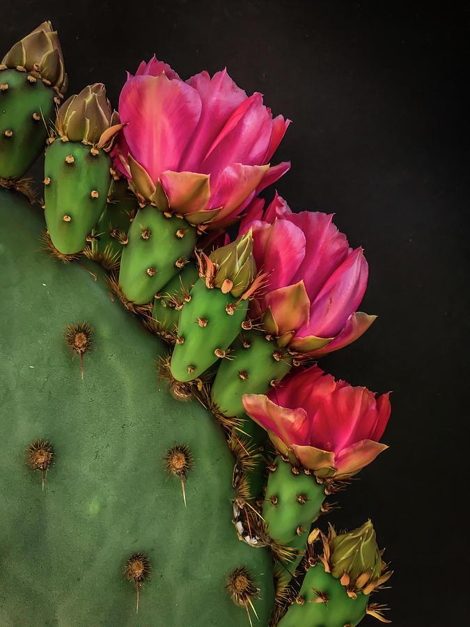 Prickly Pear Pinkish by Veronika Countryman