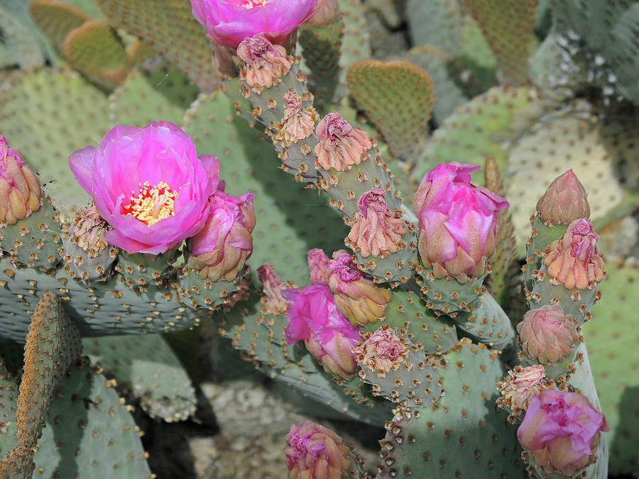 Prickly Pear Profusion 3 by Lynda Lehmann