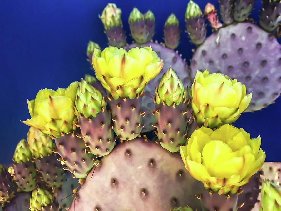 Prickly Pear Yellows by Veronika Countryman