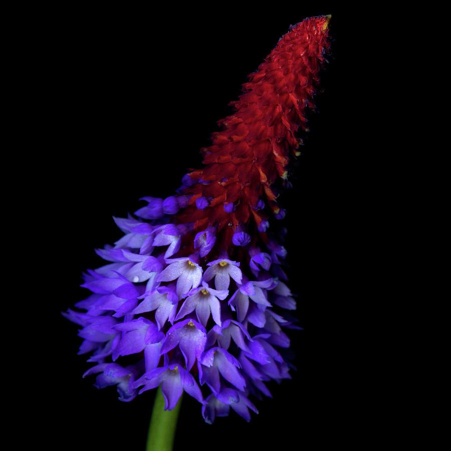 Primula Vialii Photograph by Photograph By Magda Indigo