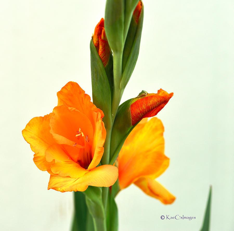 Prince of Orange Gladiolus by Kae Cheatham