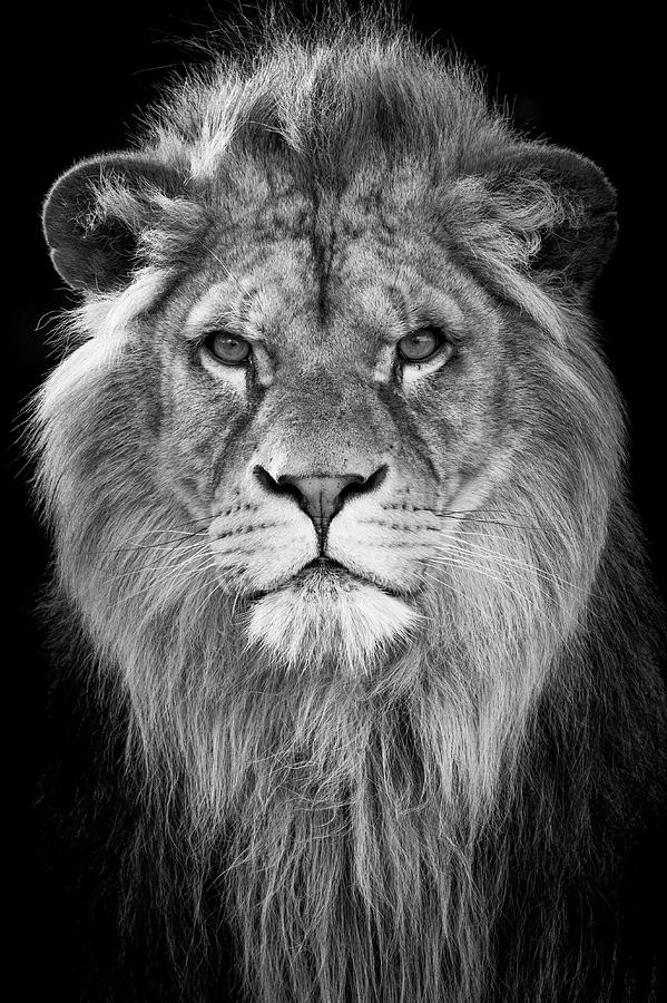 Lion Photograph - Prince by RT Photography