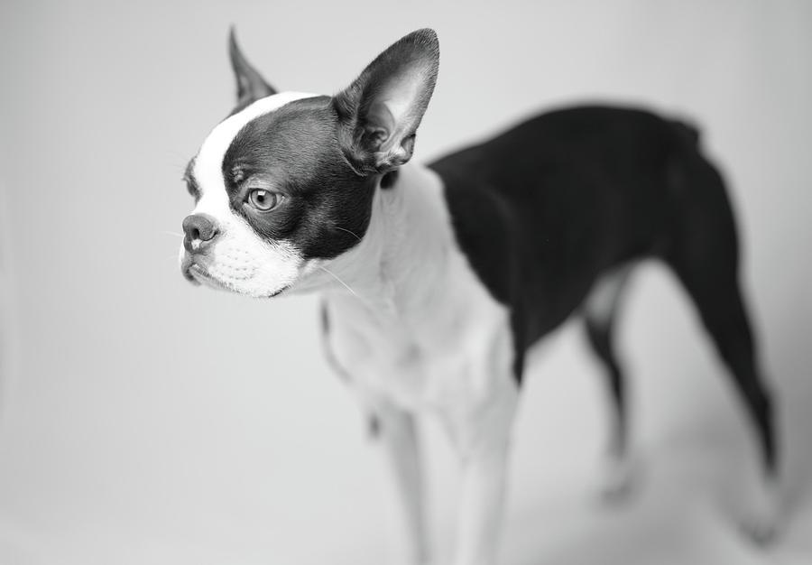 Profile Of A Boston Terrier Photograph