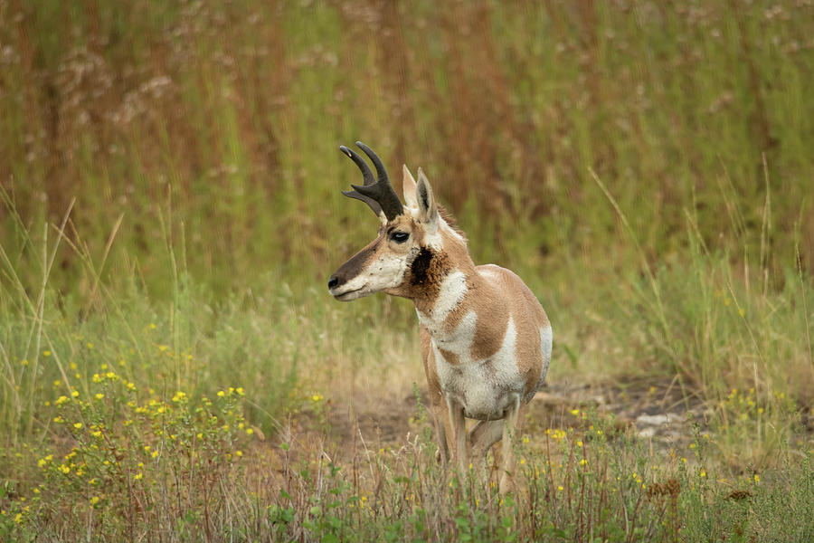 Profile of a Pronghorn by Constance Puttkemery